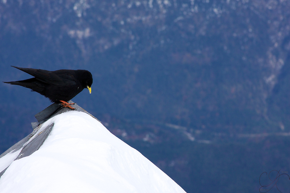 A small bird sweeps his perch of snow high above the valley floor in the German Alps, up here on top of the Zugsptize