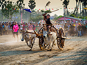 17 FEBRUARY 2018 - BAN LOT, PHETCHABURI, THAILAND: Ox cart racing in Ban Lat, a community about three hours south of Bangkok. The ox cart races are almost 100 years old, and date back to the reign of King Rama V. The races are run on a 100 meter long straightaway course.   PHOTO BY JACK KURTZ