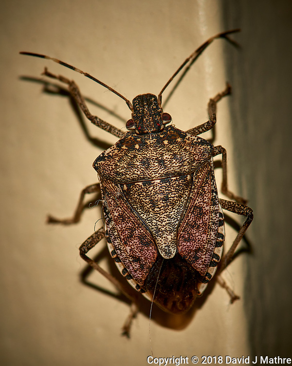 Brown Marmorated Stink Bug - Indoor Winter Nature. Image taken with a Nikon D810a camera and 105 mm f/2.8 VR macro lens (ISO 200, 105 mm, f/16, 1/60 sec) + popup flash.