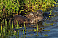 Newborn otter pups weigh only a few ounces at birth and are born completely helpless. Once the pups reach two months of age, their mother introduces them to water where they quickly learn to swim.  This female otter and her young pups were observed swimming along the shoreline near Yellowstone's Fishing Bridge; a favorite haunt of Yellowstone's otters.