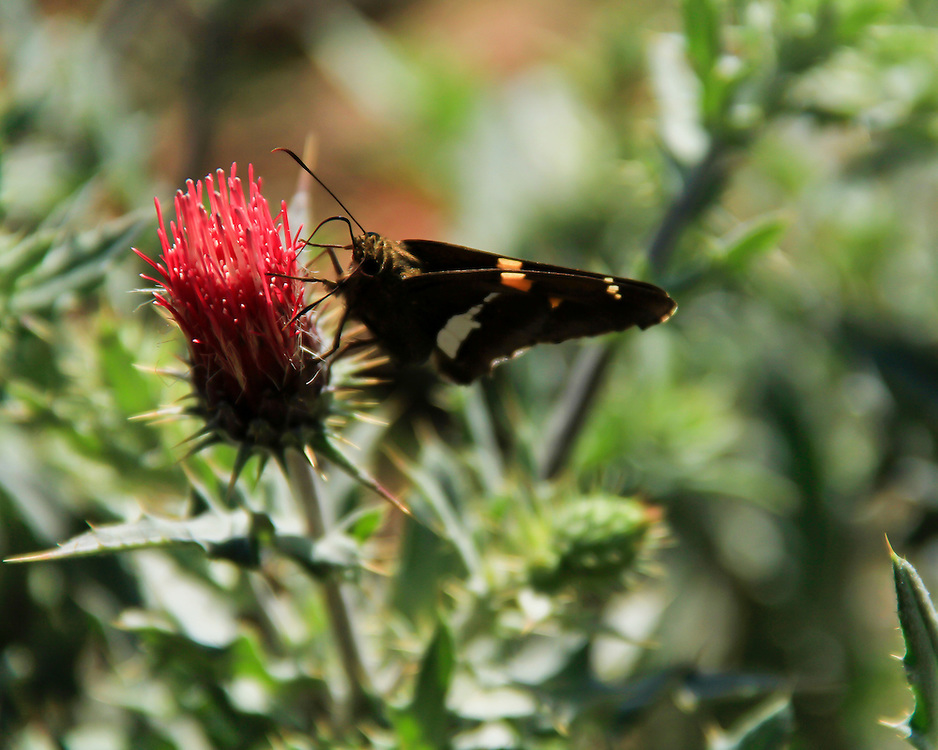 The sweet nectar of a thistle is lunch for a butterfly.
