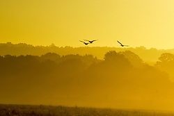 © Licensed to London News Pictures. 02/11/2016. Richmond, UK. Canadian Geese fly in the sunrise. Deer in the frost in Richmond Park London today 2nd November 2016. much of the country experienced a frost overnight. Photo credit : Stephen Simpson/LNP