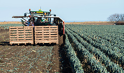View of farm workers harvesting field of leeks in East Lothian, Scotland, United Kingdom