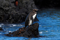 Galapagos Penguin (Spheniscus mendiculus) standing along lava rocks on a shore, Galapagos Islands National Park, Isabela Island, Galapagos, Ecuador