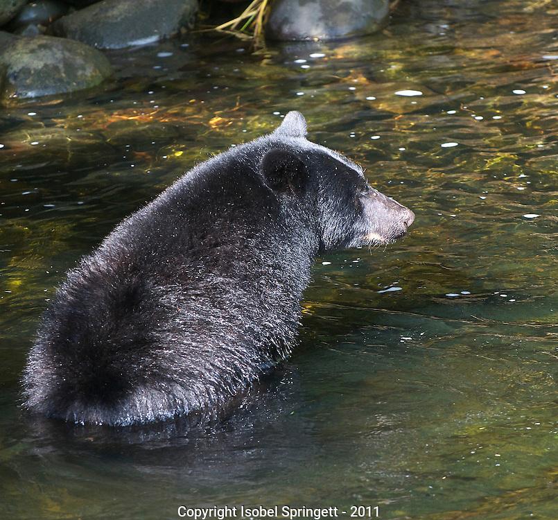 Black Bear. (Ursus americanus), Courtenay, British Columbia, Canada, Isobel Springett