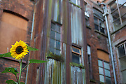 Sunflower juxtaposed against a deteriorating warehouse facade.