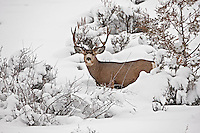 2017 winter range in the northern Utah mountain valleys the Mule Deer are working hard trying to keep their body fat supplies this is going to be one of the hardest winters they have seen in some time.