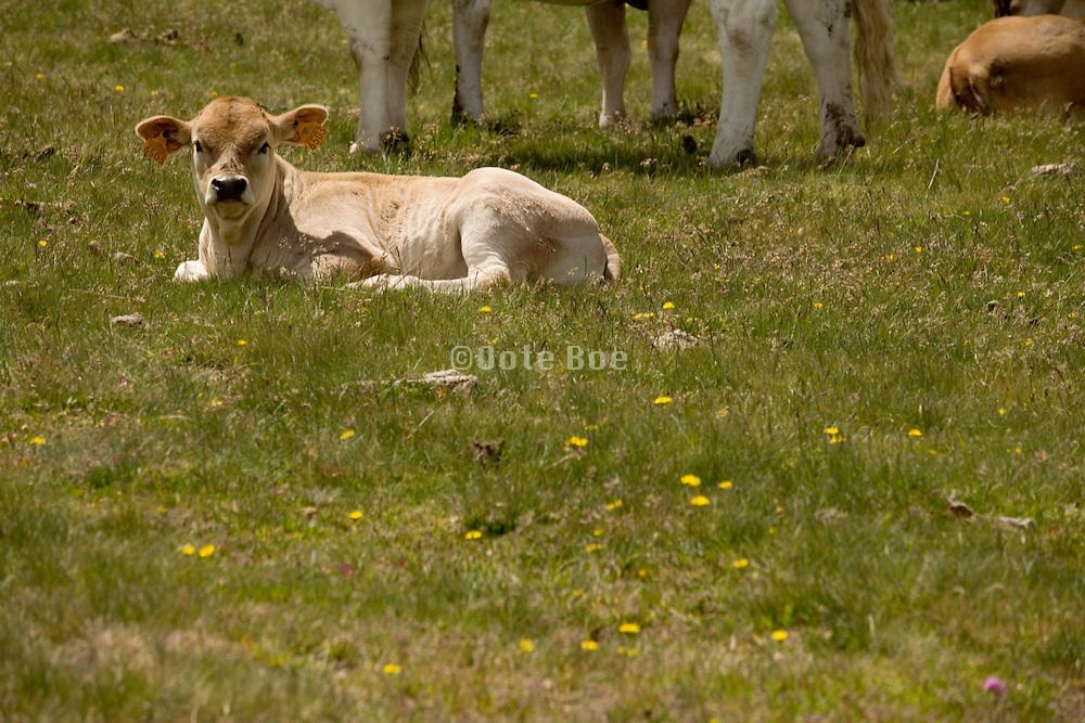 calf resting