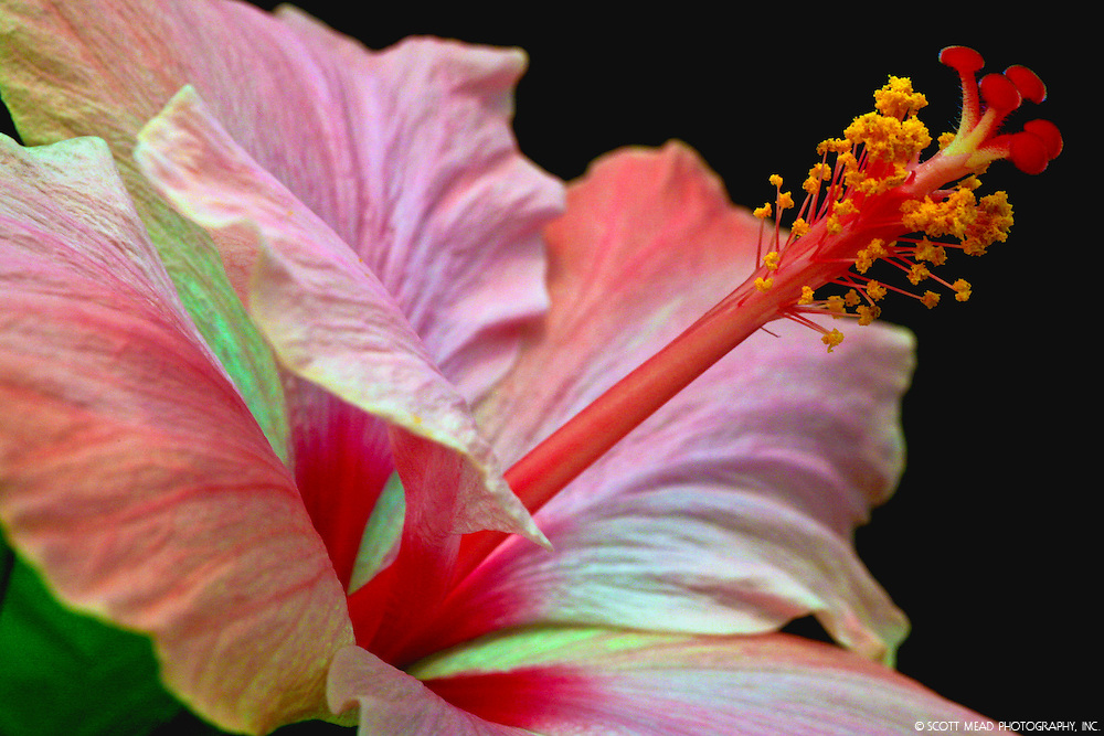 Side profile image of a Rainbow Hibiscus flower with black background in Kona, Big Island, Hawaii