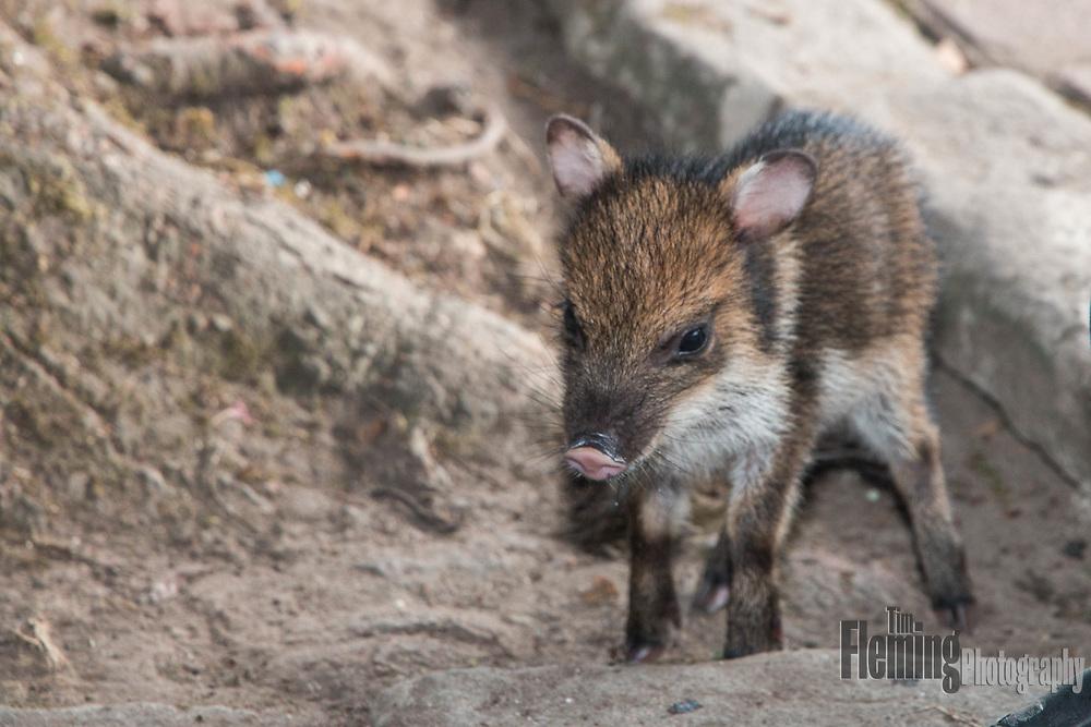Captive Pecari tajacu, a subtropical species of wild pig.