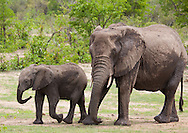 A mother African elephant (Loxodonta africana) and calf in the Ngala Private Game Reserve, Kruger National Park. Photographed in the wild, on safari. http://www.gettyimages.com/detail/photo/cow-african-elephant-with-calf-south-africa-royalty-free-image/92063750