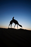 Camels in the desert in the United Arab Emirates