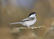 Willow Tit - Poecile montanus