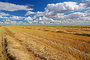 Wheat field and clouds<br /> Trochu<br /> Alberta<br /> Canada