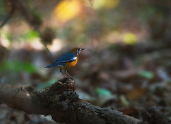 Orange-headed Thrush (Zoothera citrina) in India