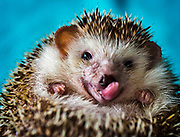 Pokey is an African pygmy hedgehog Jen Smith named after the horse in the Gumby animated shorts. Somewhere around 4-years old, Pokey was a rescue from the Hedgehog Welfare Society, and is one of four she owns.