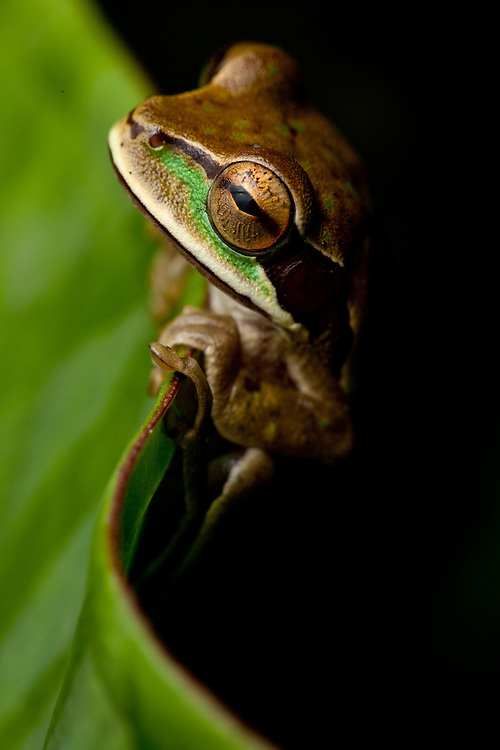 New Granada Cross Banded treefrog, Smilisca phaeota, in the Choco of Colombia