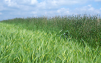 Barley field with margin of long grass to encourage insects