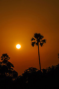 Palm tree at sunset. Gaya District, Bihar, India