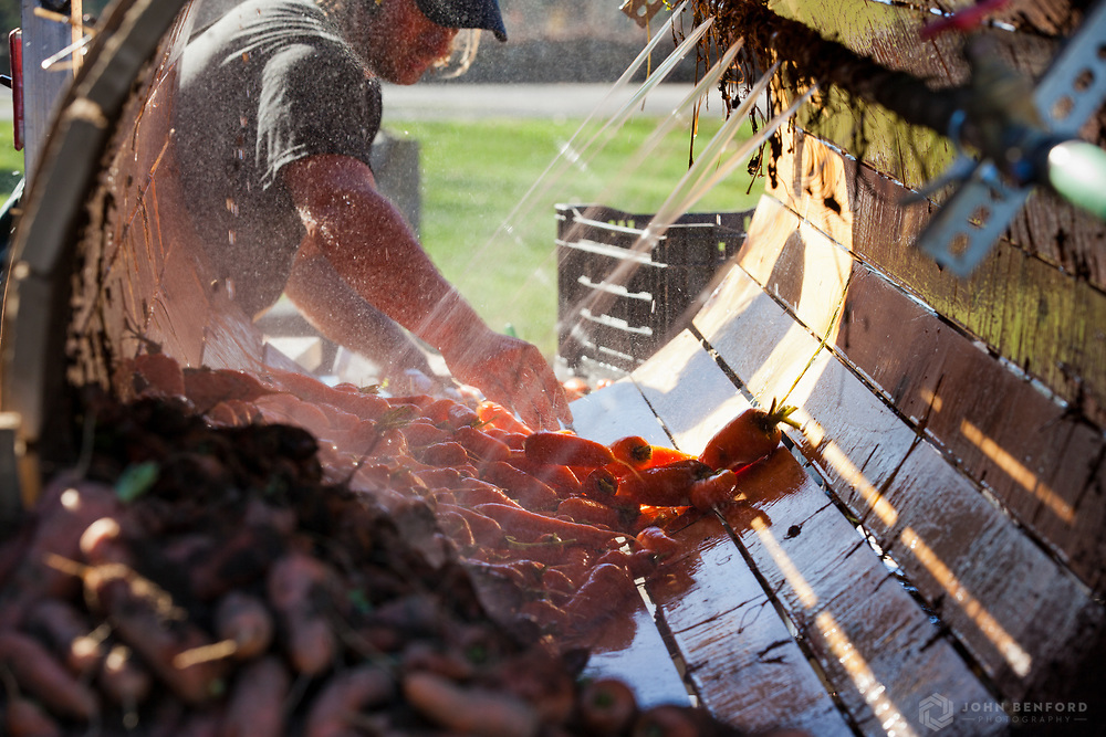 A farmer pulls clean carrots out of a carrot washer. The washer, used for other root vegetables as well, consists of a rotating barrel on a slight incline with hoses that spray the carrots as they tumble down the barrel.