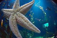 """ESP, Spanien: L'Oceanogràfic, zur Zeit das groesste Aquarium Euorpas, Seestern festgesaugt an der Glaswand des Tanks, im Kelpwald, Anlage """"Temperierte und Tropische Gewaesser"""", Stadt der Kuenste und Wissenschaften, Valencia, Valencia   ESP, Spain: L'Oceanogràfic, at the moment the largest Aquarium of Europe, starfish adhered at glass wall of a tank, in the kelp forest, set """"Temperated and .Tropical Waters"""", City of Arts and Sciences, Valencia, Valencia  """