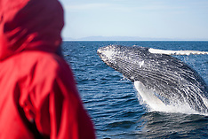 Humpback Whales SW Iceland