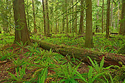 Old growth in coastal temperate rain forest. Cathedral Grove<br /> <br /> McMillan Provincial Park (Cathedral Grove)<br /> British Columbia<br /> Canada
