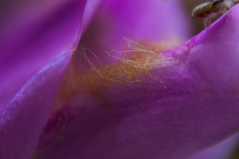 Macro floral image of a pink flower and a spider.