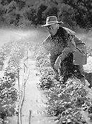 Farmer checking Irrigation, Strawberry Farm, Australia