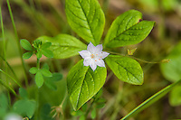 The Pacific starflower is a common woodland wildflower of the forest floor, where vast carpets of them can often be found in older forests with very filtered light. Because they like cool moist peaty soils, they are often found from the Pacific coast to the upper western-side of the mountains of the Cascades in the Pacific Northwest. This was found about halfway up the western side of Oregon's Larch Mountain.