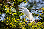Each year, hundreds of egrets, herons, and other waterfowl nest within feet of the walking path. <br />