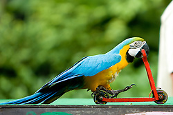 Blue parrot riding on a bicycle.