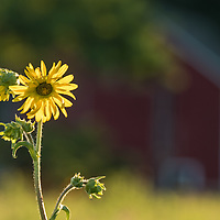A lone sunflower stretches above the prairie with a distant barn in the background.