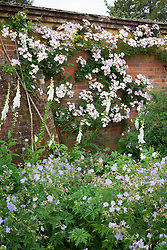 Rosa 'Francis E. Lester' trained on a brick wall in the rose garden at Mottisfont with foxgloves and geraniums in the foreground