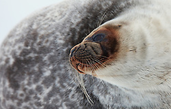 Ringed Seal (Pusa hispida) in Spitsbergen, Svalbard