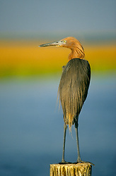 Reddish egret  (Egretta Rufescens) standing on a post.