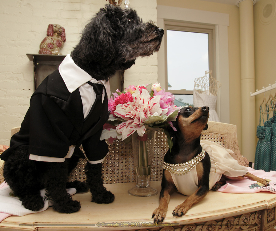 """Pippins (left) is wearing the Leonardo DiCaprio Tux, and Bella is wearing the Jennifer Lopez gown from the Academy Awards.  Pippins is a six year old """"pound puppy.""""  Bella is a seven year old Miniature Pinscher."""