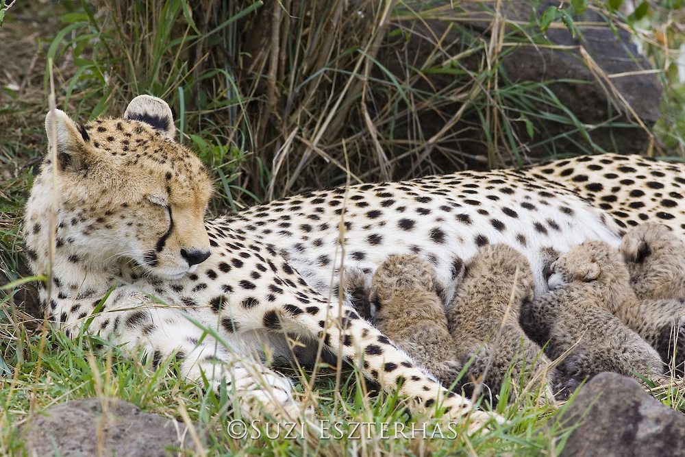 Cheetah<br /> Acinonyx jubatus<br /> Mother sleeping with 9 day old cubs in nest<br /> Maasai Mara Reserve, Kenya