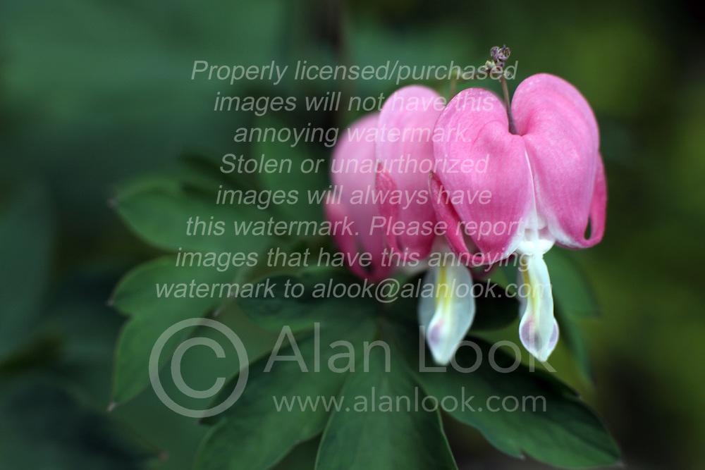 Flowers - bleeding heart (Lamprocapnos spectabilis)