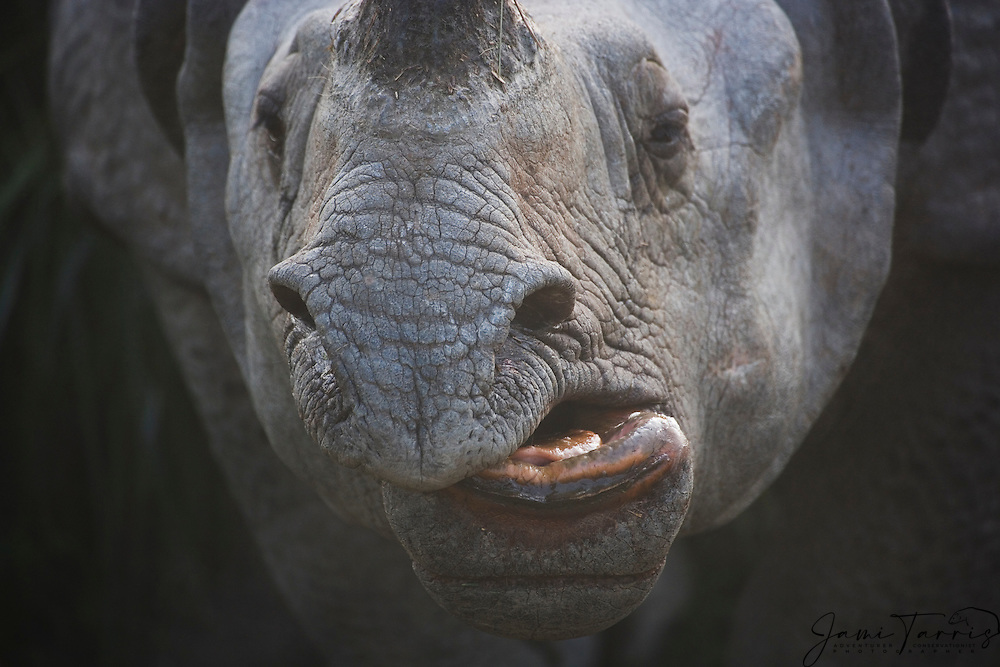 A tight close up of an Indian rhinoceros face ( Rhinoceros unicornis ) showing its mouth, Kaziranga National Park, Assam, India