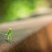 Shot of a baby praying mantis taken while on a bike ride on the D&R Canal in Princeton, NJ.