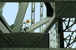 A sunflower grows from the structure of the Samuel Morey Memorial Bridge in Orford Friday, October 12, 2012.<br /> Valley News - James M. Patterson<br /> jpatterson@vnews.com<br /> photo@vnews.com