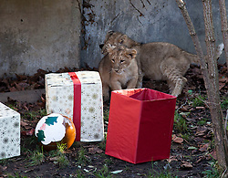 © Licensed to London News Pictures. 15/12/2011. LONDON, UK. London Zoo's three month old lion cubs, Indi and Heidi, investigate Christmas presents left in their enclosure by keepers. The lions London of London Zoo get into the Christmas Spirit after keepers delivered some early presents to their enclosure. Photo credit: Matt Cetti-Roberts/LNP