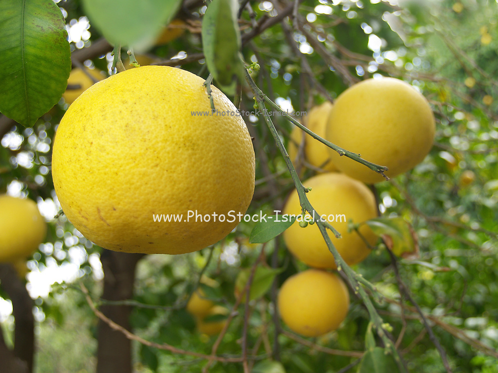 Close up of ripe grapefruit on a tree before picking