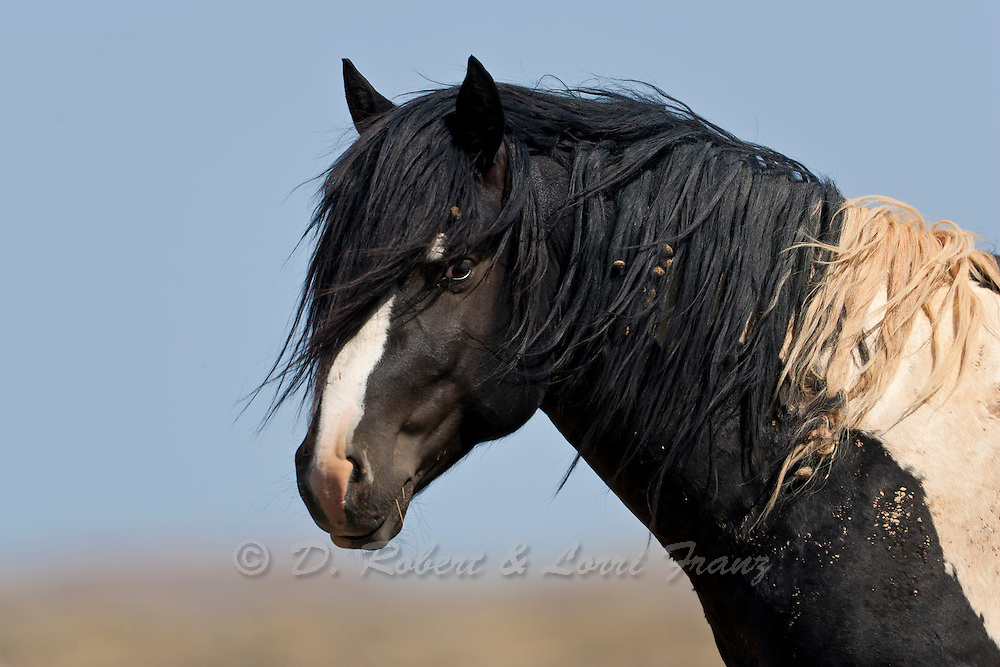 Wild horse or mustang