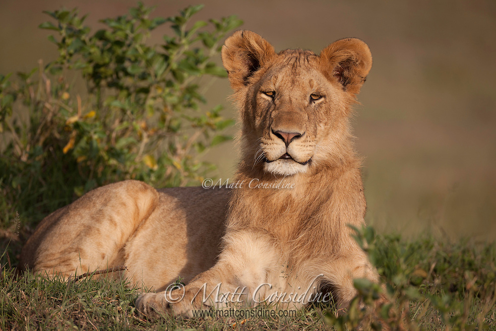 Young male lion from the Marsh Pride of Big Cat Diary fame in the Mara, Kenya, Africa (photo by Wildlife Photographer Matt Considine)