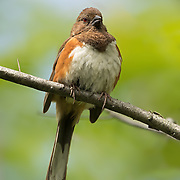 Eastern Towhee female on branch with nice background at Jamaica Bay Wildlife Refuge