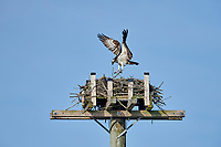 Osprey (Pandion haliaetus) brings a stick to it's nest  Petite Riviere, Nova Scotia, Canada