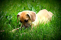 cur puppy image for sale, The Blackmouth Cur is a well-muscled rugged hunting and cattle dog whose coat comes in a number of colors and shades, generally red, yellow, brindle, fawn, blue or buckskin. Solid black or white Blackmouth Cur do, on rare occasion, appear in a breeding. According to the United Kennel Club Standard, up to ten percent of the coat may be white with the amounts of white on the toes, tail, nose and chest considered acceptable. None of the Cur breeds are currently recognized breeds of the American Kennel Club