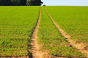 Track pathway uphill through carrot crop, Suffolk Sandlings, Shottisham, England, UK